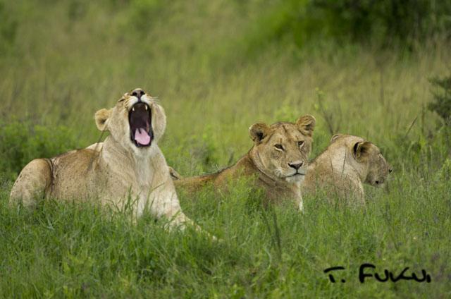 あくびライオン1