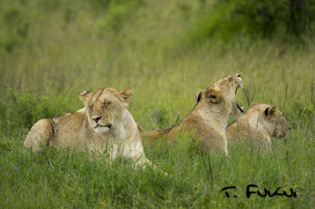 あくびライオン2