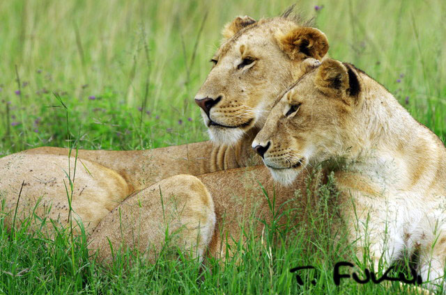 ライオンの兄妹