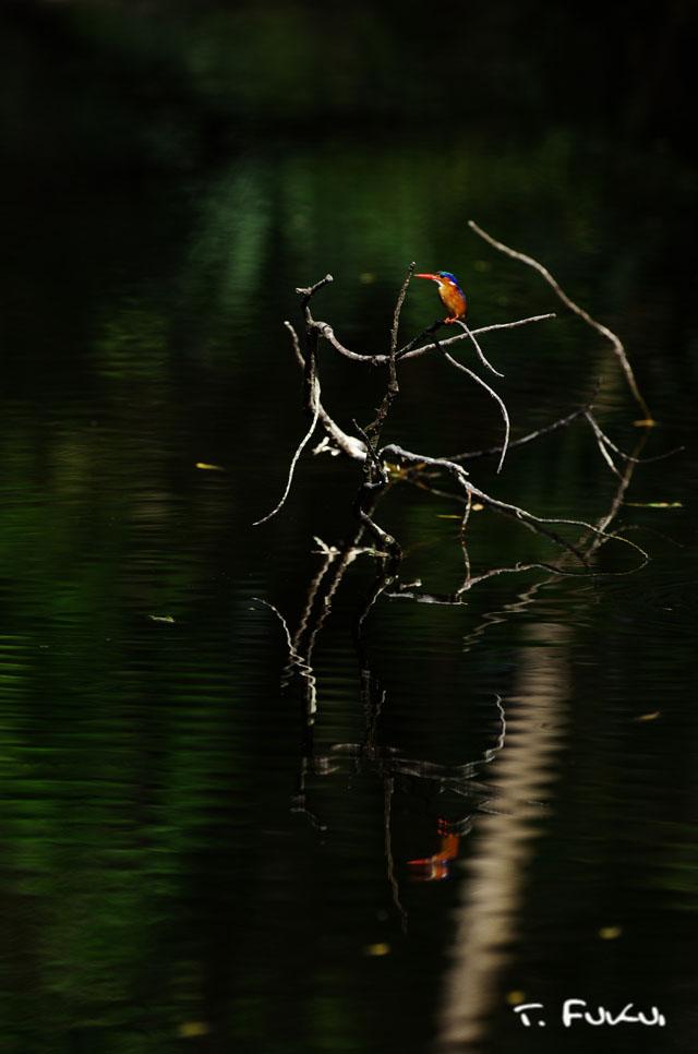 カンムリカワセミ