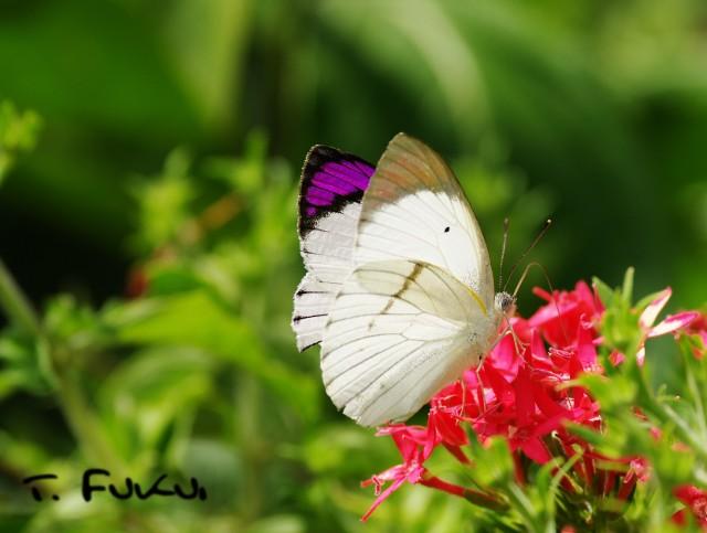 ヒメツマムラサキシロチョウ