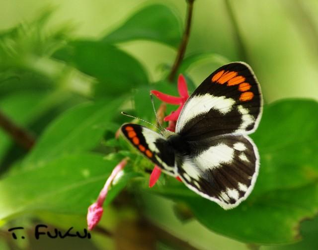 フタスジツマアカシロチョウ