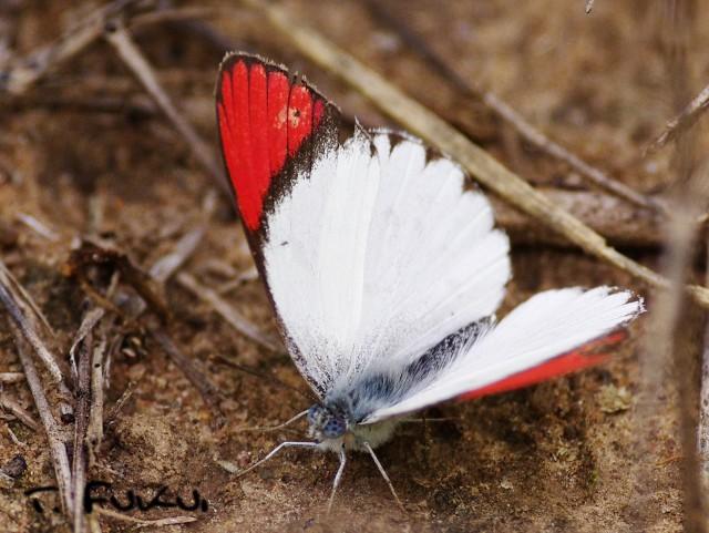 ツマアカシロチョウの一種