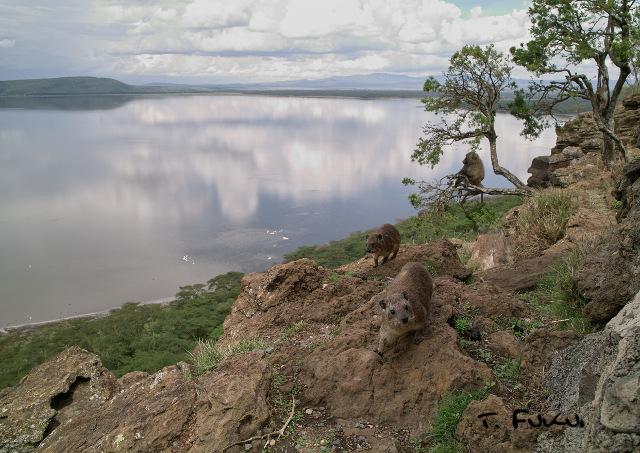 ナクル湖のハイラックス