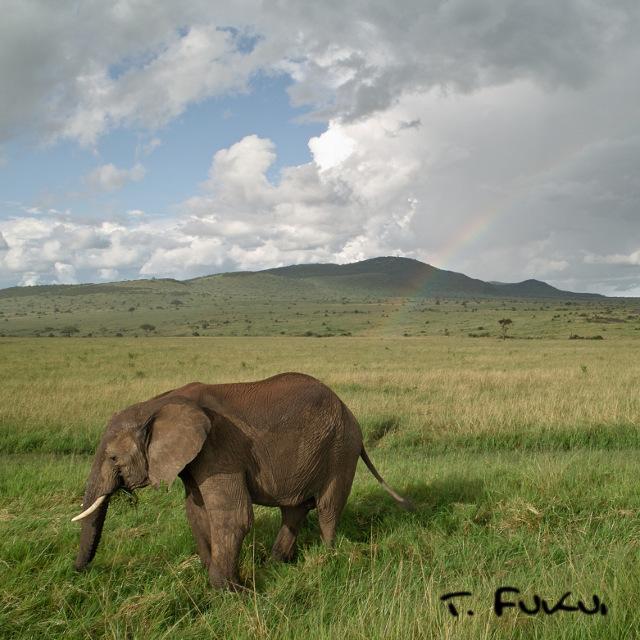 マサイマラのゾウ