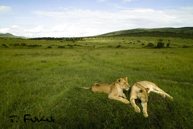 ライオンと大草原