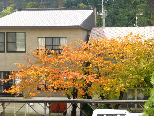 紅葉(桜)