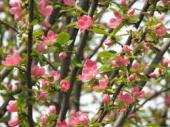 花梨の花2