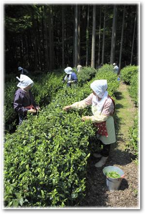 高山寺の茶摘み