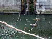 目黒川のカモ