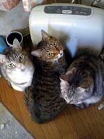 ストーブに集まる猫