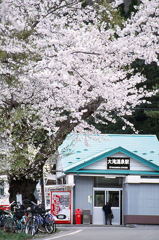 otaki-sakura