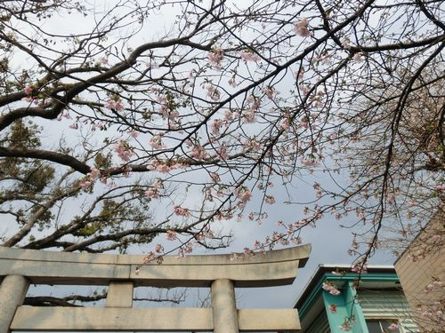 浅間神社桜