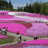 秩父の芝桜3jpg