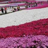 秩父の芝桜4