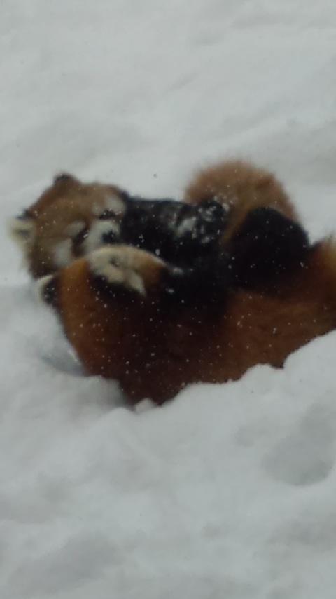雪の中のレッサーパンダ17
