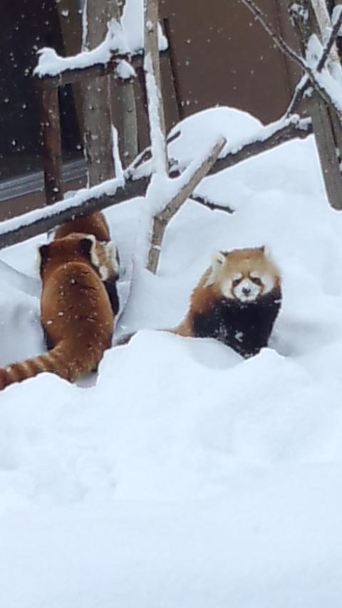 雪の中のレッサーパンダ18