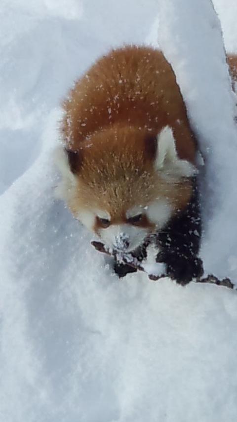 雪の中のレッサーパンダ25