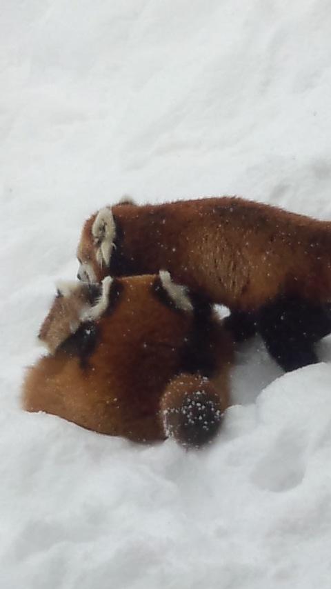 雪の中のレッサーパンダ9