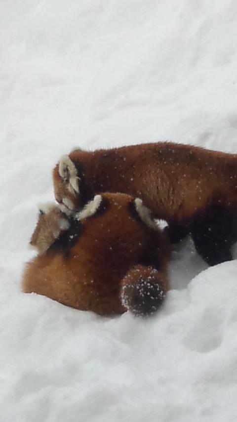 雪の中のレッサーパンダ10