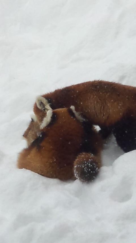 雪の中のレッサーパンダ11