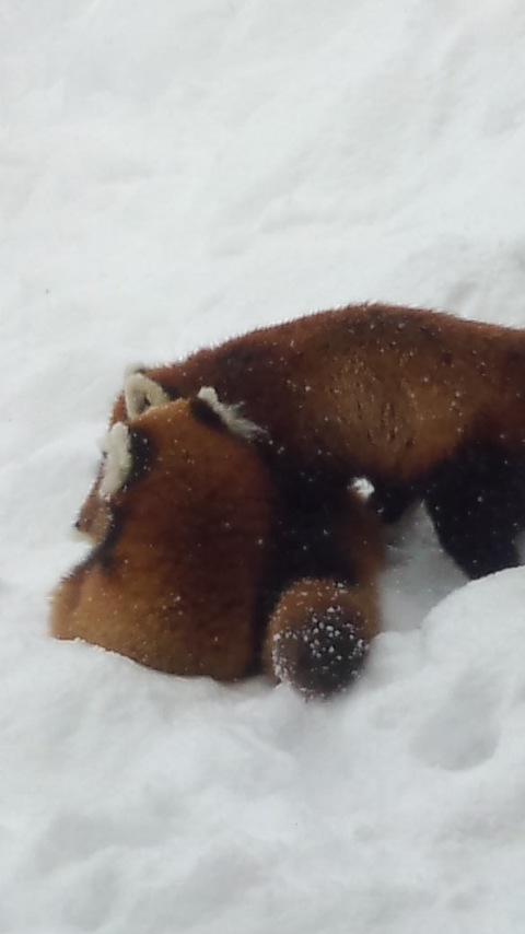 雪の中のレッサーパンダ12