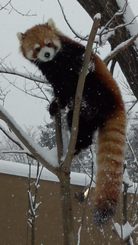雪の中のレッサーパンダ136