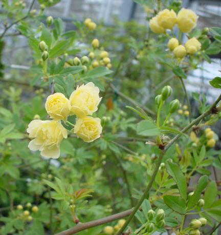木香バラ・黄八重