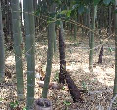 今年は裏の竹やぶ