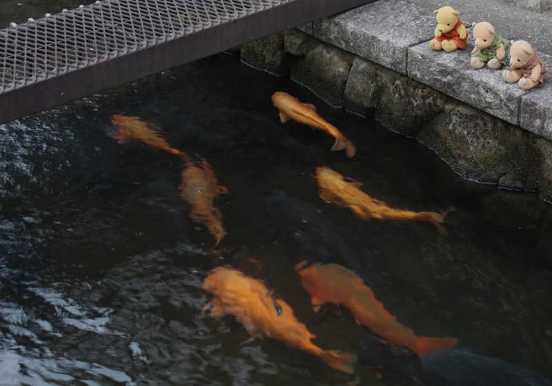 瀬戸川の鯉を見る