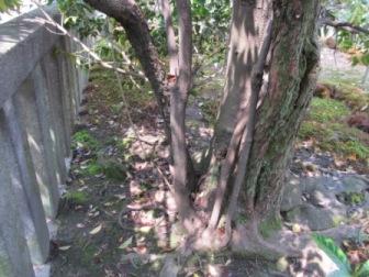 合体した2種の木