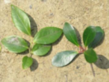 同じ幹から2種の葉