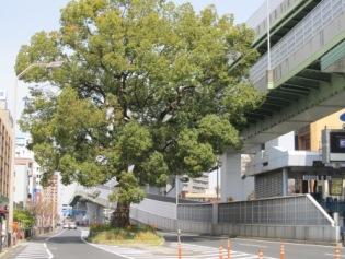東片端の巨木