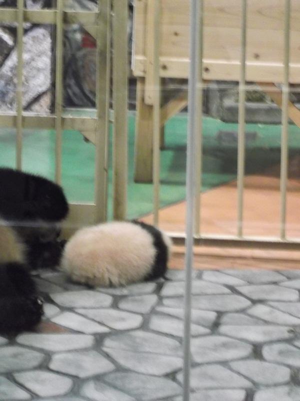 パンダの赤ちゃん(お休み中)
