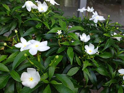 IMG_1802植木の花400