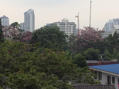 IMG_9411タイ桜トンロー13方向