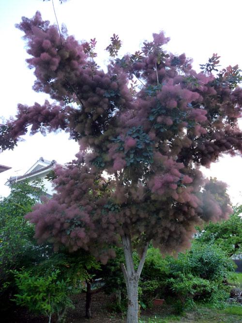 smoke-tree1.jpg