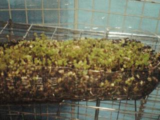 種の小松菜(5月31日)