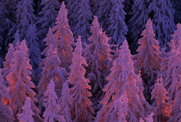11lifeincolorpurpleNorbertRosing.jpg