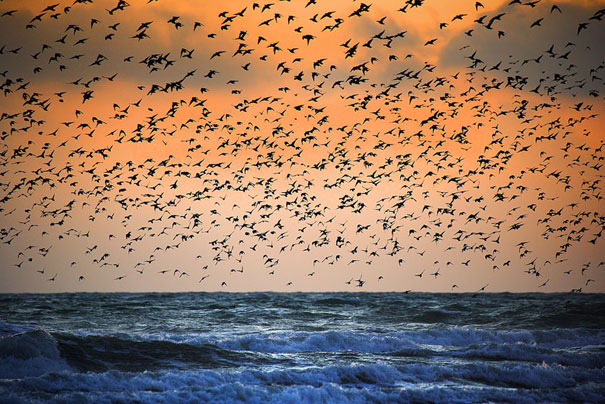 murmuration-of-starlings-10.jpg
