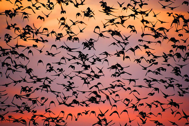 murmuration-of-starlings-12.jpg