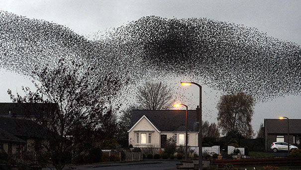 murmuration-of-starlings-3.jpg