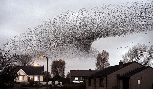 murmuration-of-starlings-4.jpg