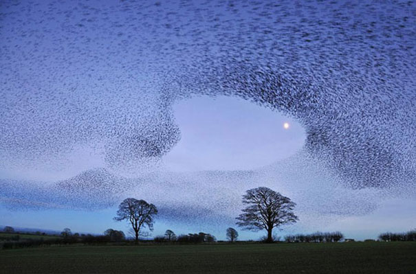 murmuration-of-starlings-6.jpg