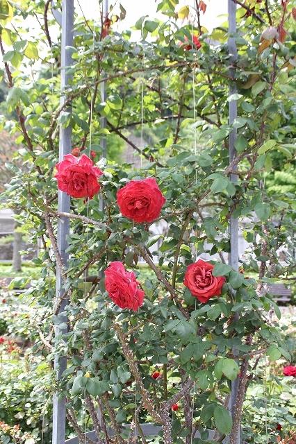 つる性の薔薇『ブラックティー』