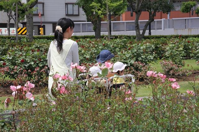 バラが咲き乱れる公園をのんびりお散歩_2