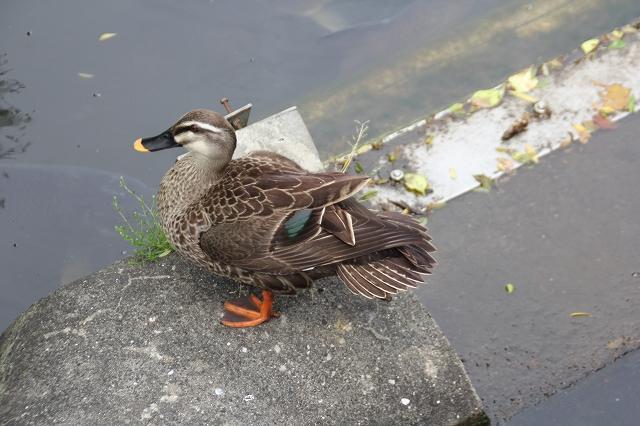 不忍池の鳥たち_1