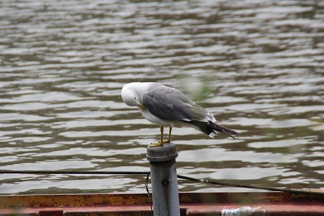 不忍池の鳥たち_2
