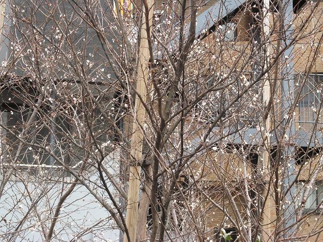 桜と思しき樹木_3