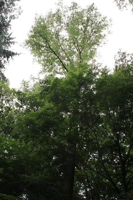 ポプラ_2